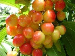розроблення нових екологічно безпечних технологій  вирощування плодів зерняткових і кісточкових культур