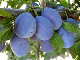 вирощування плодів зерняткових і кісточкових культур