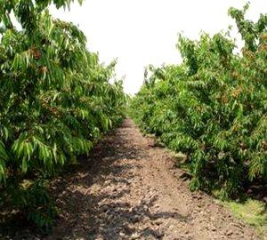 добір сортів та підщеп для створення інтенсивних промислових насаджень плодових культур