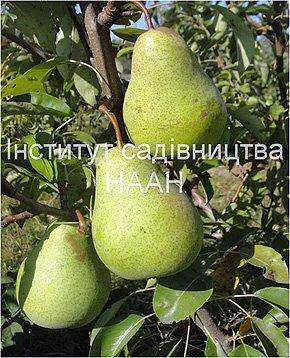 Груша Бере київська, зимовий сорт