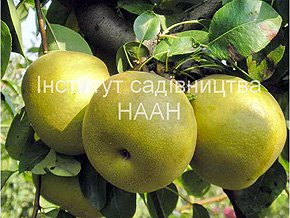 Груша Етюд, ранньозимовий сорт