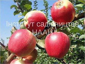 Яблуня Едера, зимовий сорт