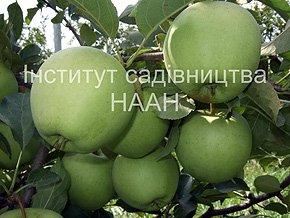 Яблуня Голден Делішес, зимовий сорт