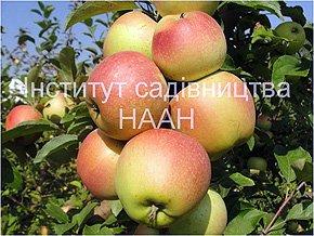 Яблуня Катерина, зимовий сорт