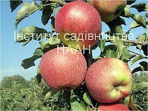 Яблуня Орнамент, зимовий сорт