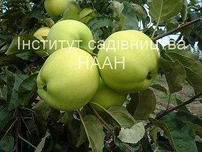 Яблуня Папіровка, літній сорт