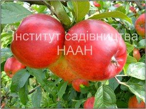 Яблуня Прима