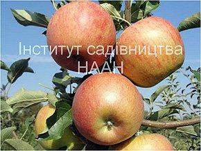 Яблуня Радогость, зимовий сорт