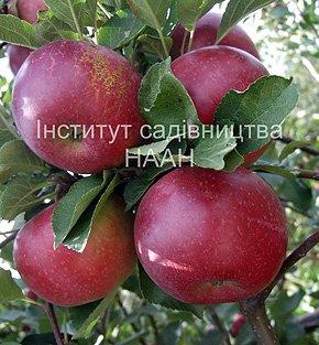 Яблуня Рубінове Дуки, зимовий сорт