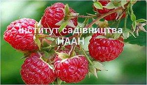 Малина Новокитаївська, сорт раннього строку достигання