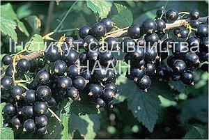 Смородна Ювілейна Копаня, сорт середнього строку достигання