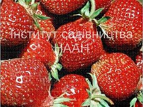 Суниця Розана київська, сорт раннього строку достигання