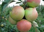 садивний матеріал плодових