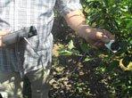 технології виробництва плодів та ягід
