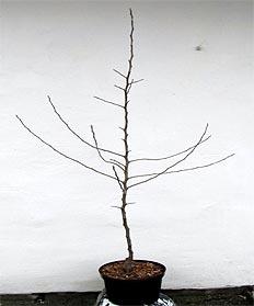 Вирощування саджанців яблуні із закритою кореневою системою