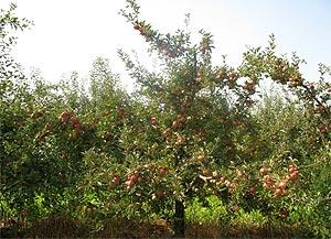 Інтенсивне насадження яблуні