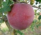 Технологія позакореневого живлення яблуні
