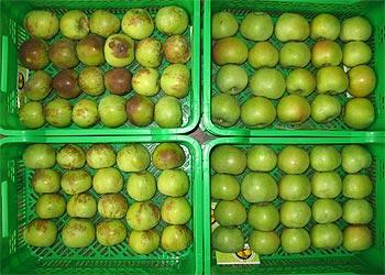 Екологічно безпечна технологія зберігання плодів яблуні