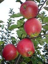селекція плодових і ягідних культур