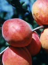 оновлення генофонду плодових, ягідних, горіхоплідних, декоративних і малопоширених в культурі рослин